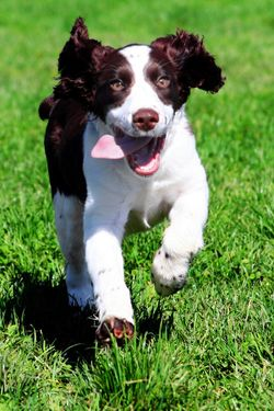 Bigstockphoto_Happy_Dog_41562