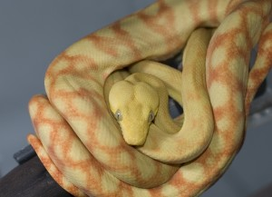amazon_tree_boa_daughter-300x217.jpg