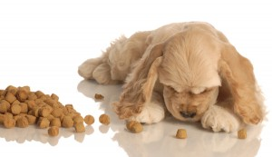 bigstockphoto_Cocker_Spaniel_Puppy_Eating_Fo_3954914