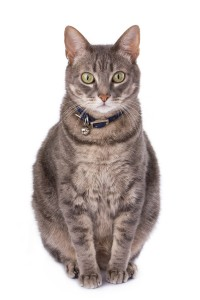 bigstockphoto_Obese_Cat_Due_To_Castration_3777382