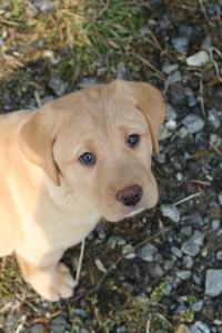 bigstockphoto_Labrador_Puppy_2416906