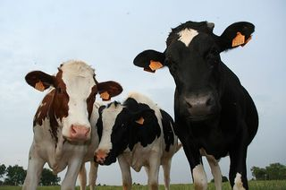 buzz-cows.jpg