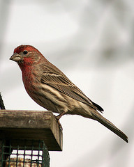 House Finch Jeff and Cheryl Hurd Project FeederWarch