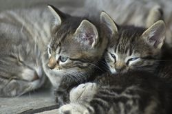 Bigstockphoto_cats_753392