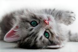 Bigstock_Kitten_rests_-_isolated_18734771