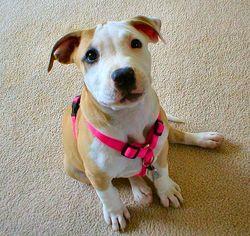 Bigstock-American-Pit-Bull-Puppy-126125