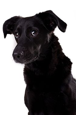 Bigstock-black-dog-4379682