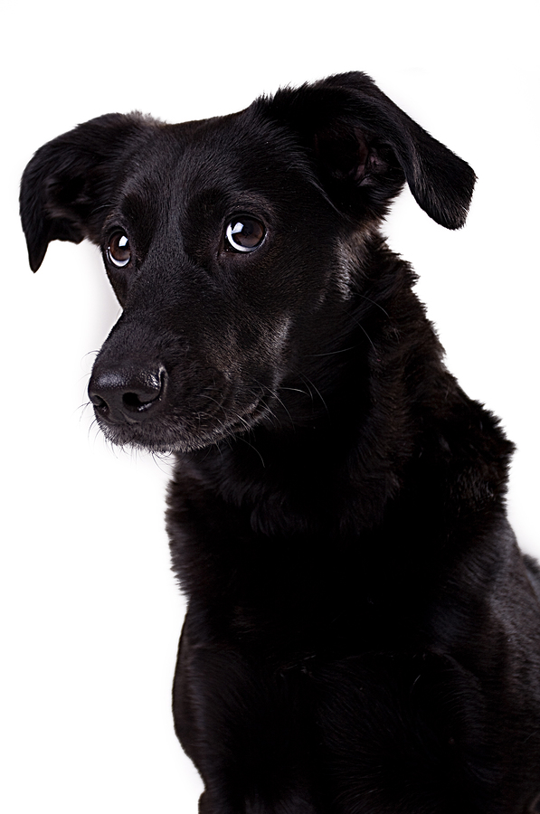 Bigstock-black-dog-43