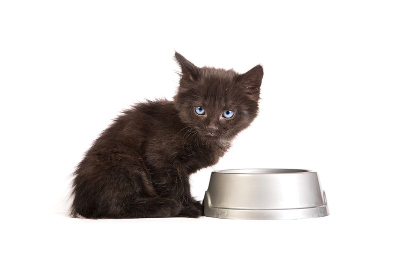 Bigstock-Black-Kitten-Eating-Cat-Food-O-41758297