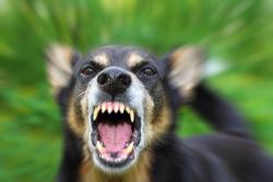 Bigstock-Barking-Dog-37316188